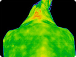 Thermal image of horse after McTimoney-Corley treament